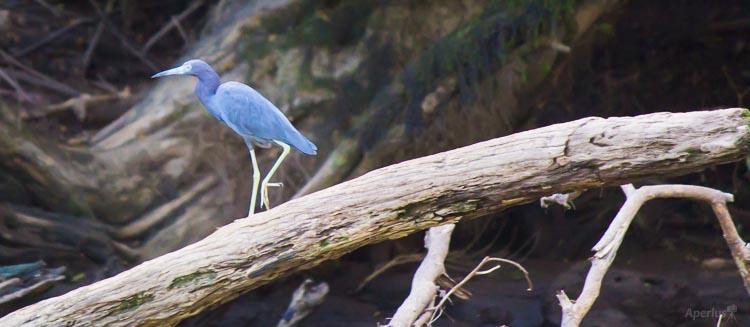 blue bird Sarapiqui River, Costa Rica