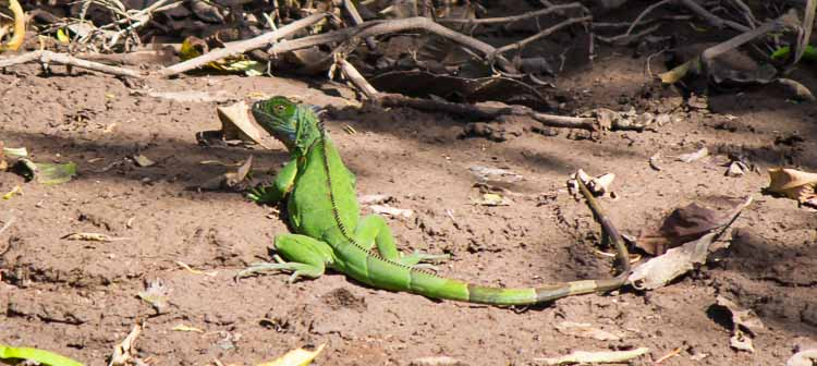 green iguana bird wings spread out Sarapiqui River, Costa Rica