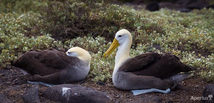 pair of waved albatrosses on Espanola Island