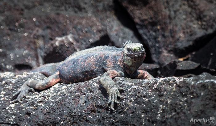 marina iguana on lave rock on Espanola Island