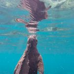 Marine Iguanas Swimming and Eating Underwater – Video