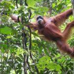 Sumatran Orangutans and More – Bukit Lawang Trekking – Gunung Leuser National Park