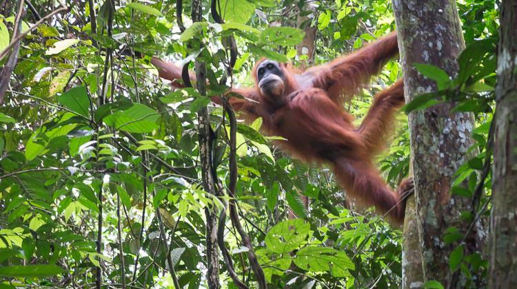 Orangutan in Leuser | aperlust.com