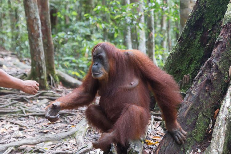 Orangutan Mina demanding food from a guide