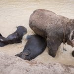 Conservation Ethics of Thailand Elephant Sanctuaries – Beyond Elephant Riding and the Selfie Problem