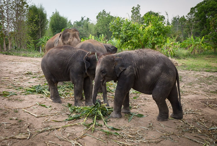 4 elephants at a sanctuary in Thailand
